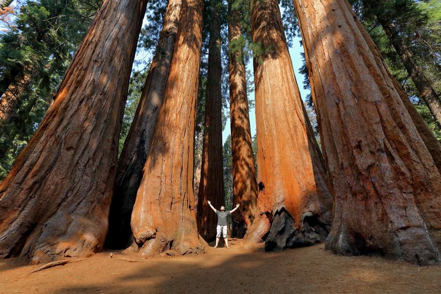 Группа гигантских секвой в национальном парке